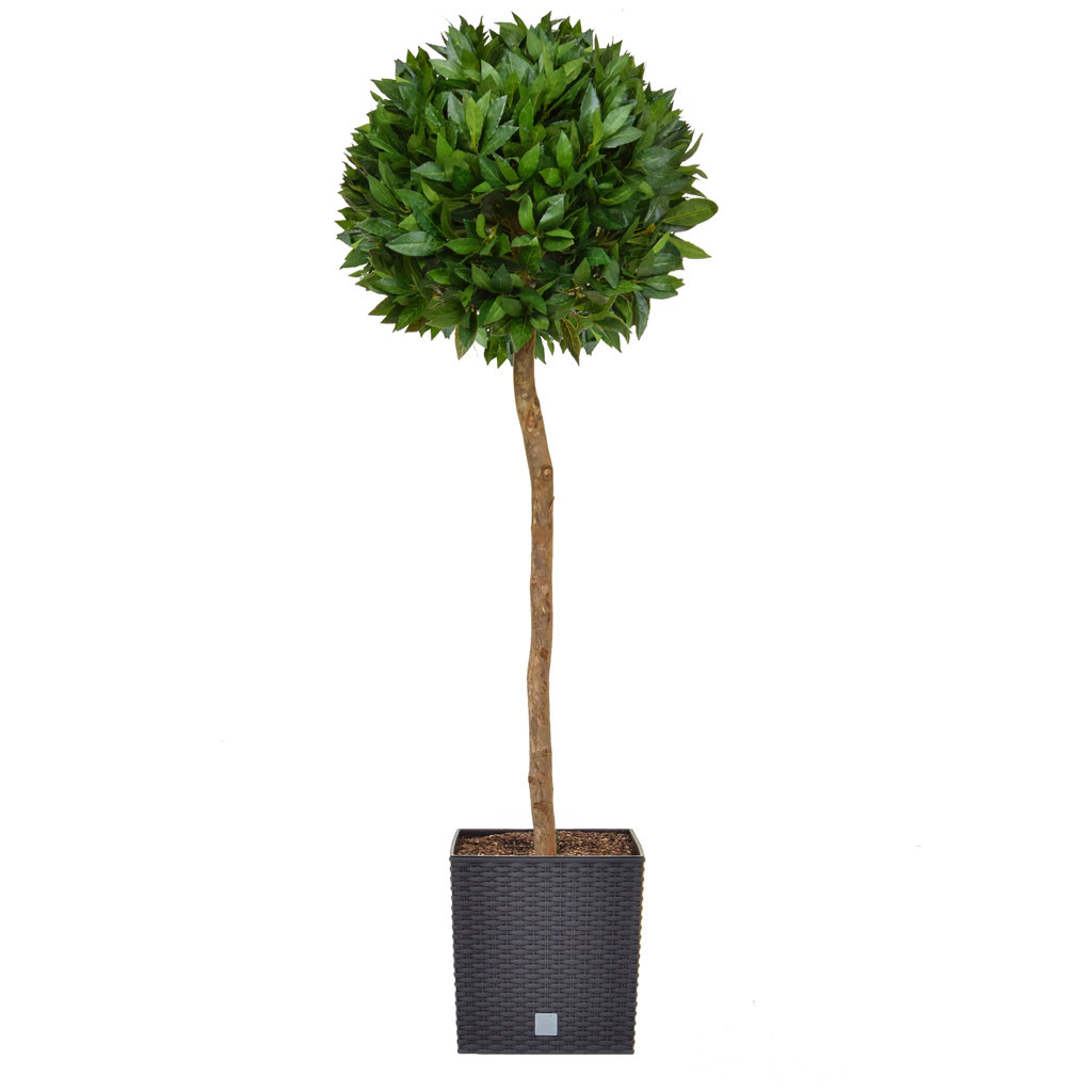 AN-Bay Laurel Ball Tree in Black Rato 145cm
