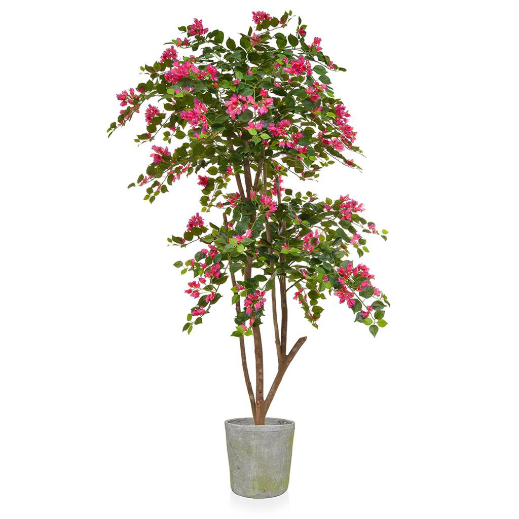 AN-Bougaianvillia Pink in Mango Pot 190cm