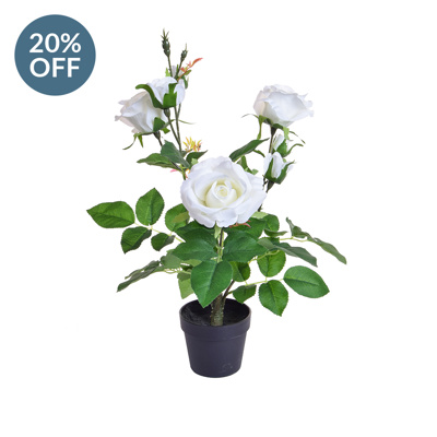PP Rose White in Pot PI 45cm