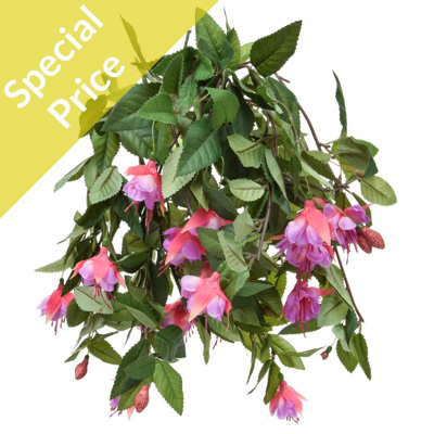 Plants Flowering Fuchsia Med Purple50cm