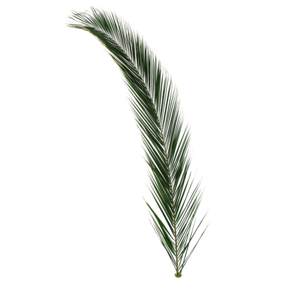 Foliage Preserved Phoenix Frond  60/80cm