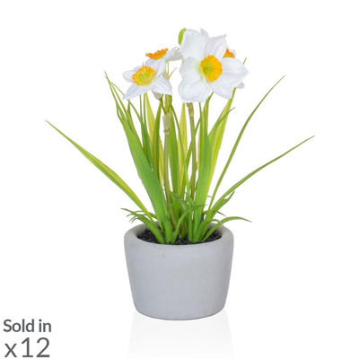 PP Daffodil White/Orange in Pot PI 23cm