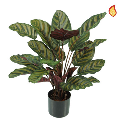 Plants Base Potted Calathea Makoyana 58cm FR